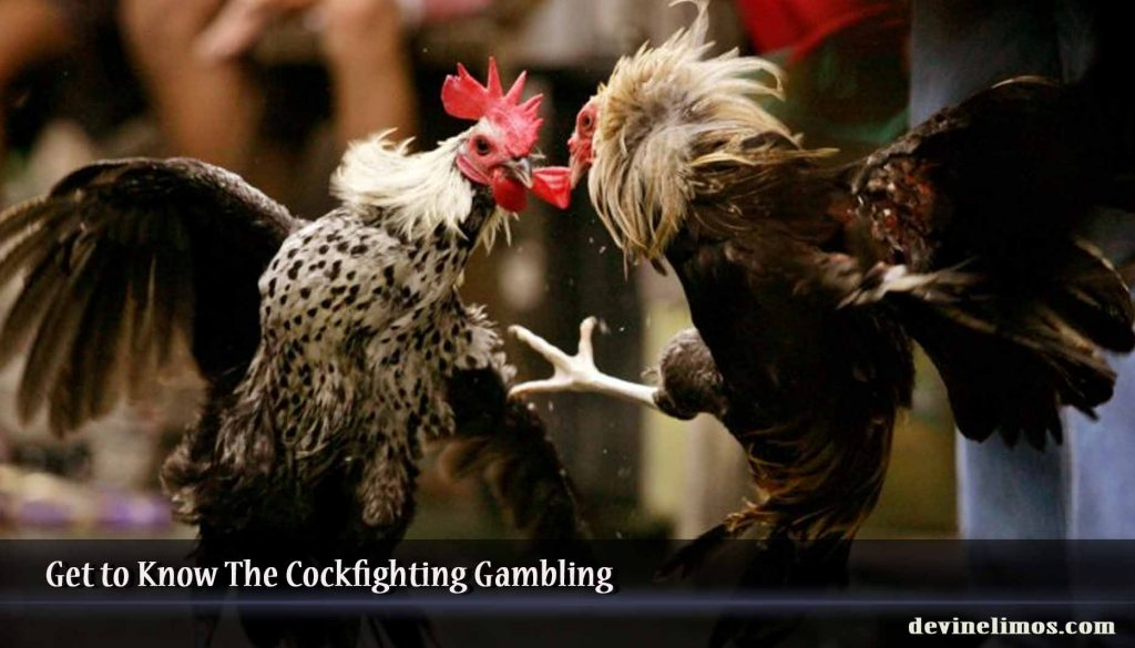 Get to Know The Cockfighting Gambling